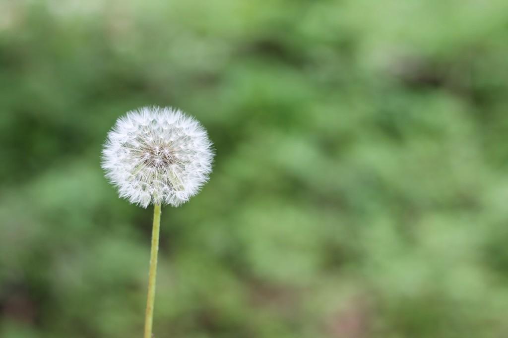 dandelion-1112399_1280
